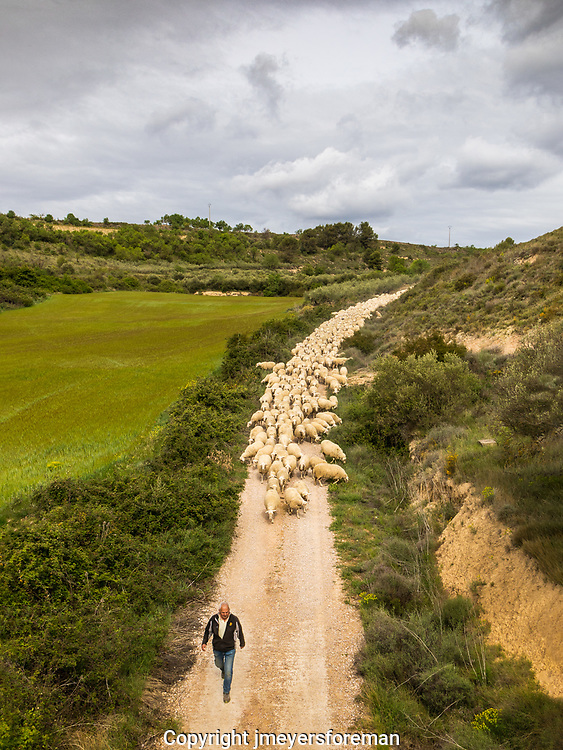 A sheep herder leading his sheep along the canal to a new pasture
