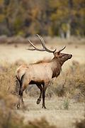 Bull elk during autumn rut in Montana