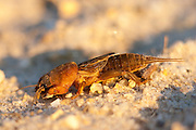 Northern Mole Cricket; Neocurtilla hexadactyla; NJ, Pine Barrens;