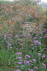 Autumn border with Verbena bonariensis and Rosa rubrifolia syn. R.glauca hips