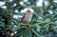 White-crowned Sparrow (Zonotrichia albicollis), Muskwa-Kechika, British Columbia, Canada   Photo: Peter Llewellyn