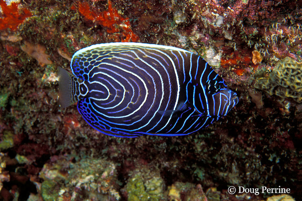 juvenile emperor angelfish, Pomacanthus imperator, Similan Islands, Thailand  ( Andaman Sea - Indian Ocean )