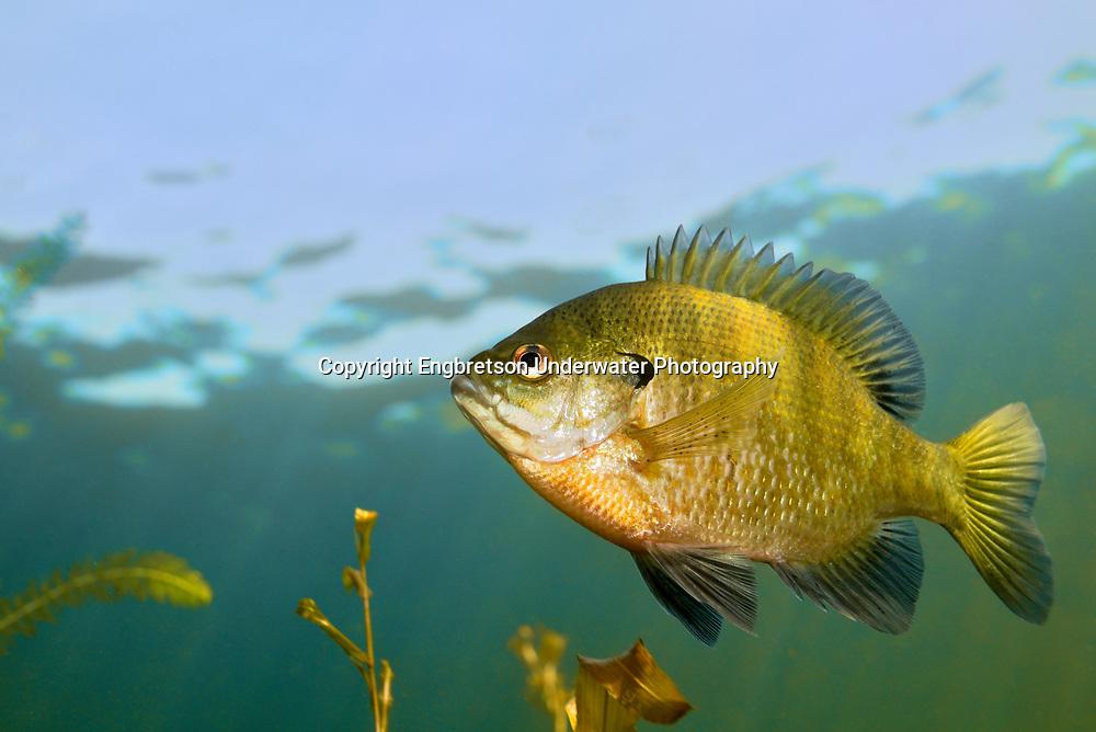 Bluegill<br /> <br /> Engbretson Underwater Photo