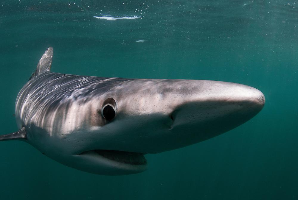 Blue shark, Prionace glauca, off Rhode Island, United States.