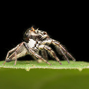 The jumping spider family (Salticidae) contains more than 500 described genera and about 5,000 described species, making it the largest family of spiders with about 13% of all species. Jumping spiders have some of the best vision among arthropods and use it in courtship, hunting, and navigation.