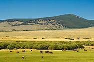 Cattle, mixed breed, graze in Grasshopper Valley, Southwest Montana