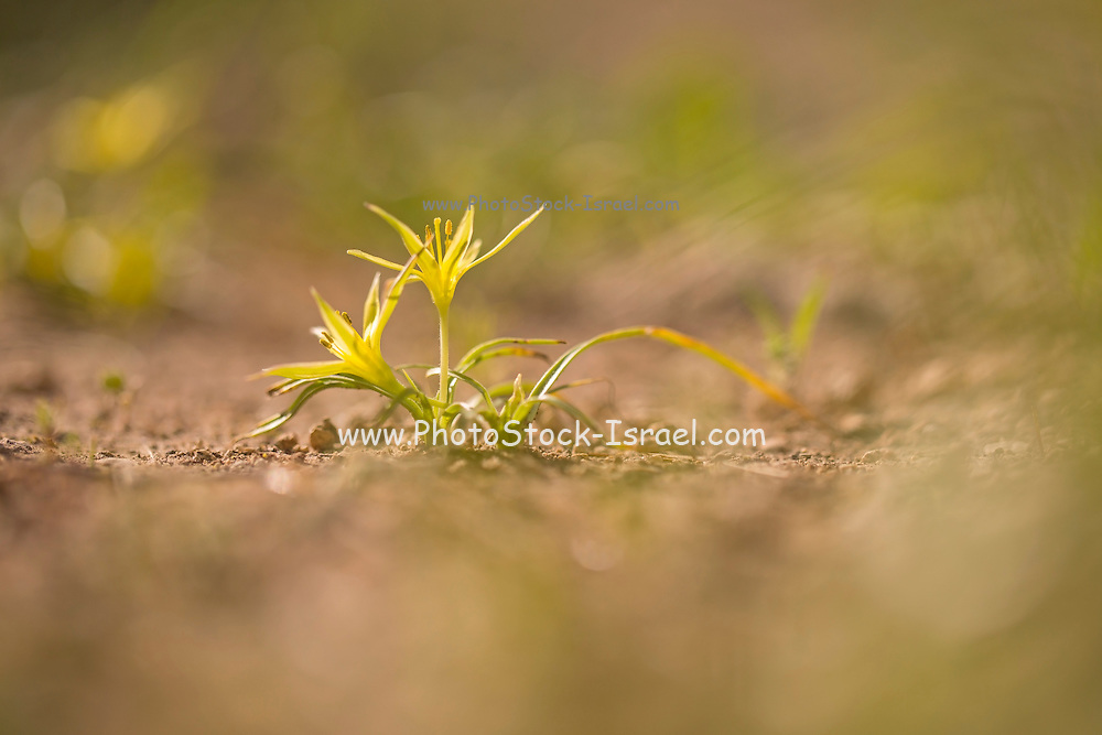 Yellow Star-of-Bethlehem (Gagea commutata) Photographed in Israel, in February.