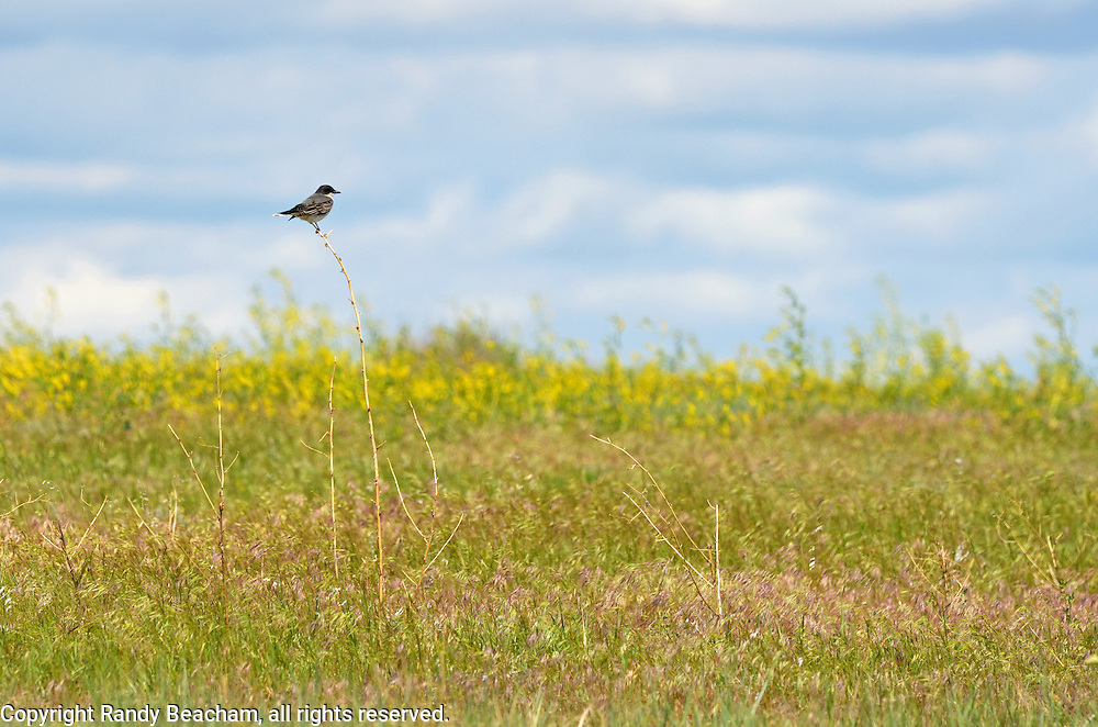 Eastern Kingbird on the Great Plains of Montana at American Prairie Reserve. South of Malta in Phillips County, Montana.