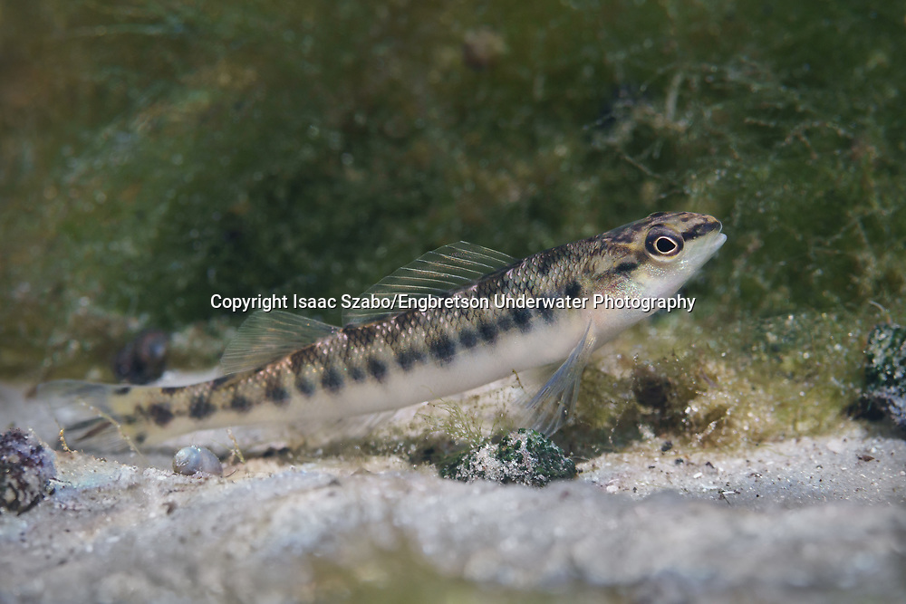 Blackbanded Darter<br />