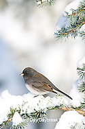 01569-014.07 Dark-eyed Junco (Junco hyemalis) on Blue Atlas Cedar (Cedrus atlantica 'Glauca') in winter, Marion Co.  IL
