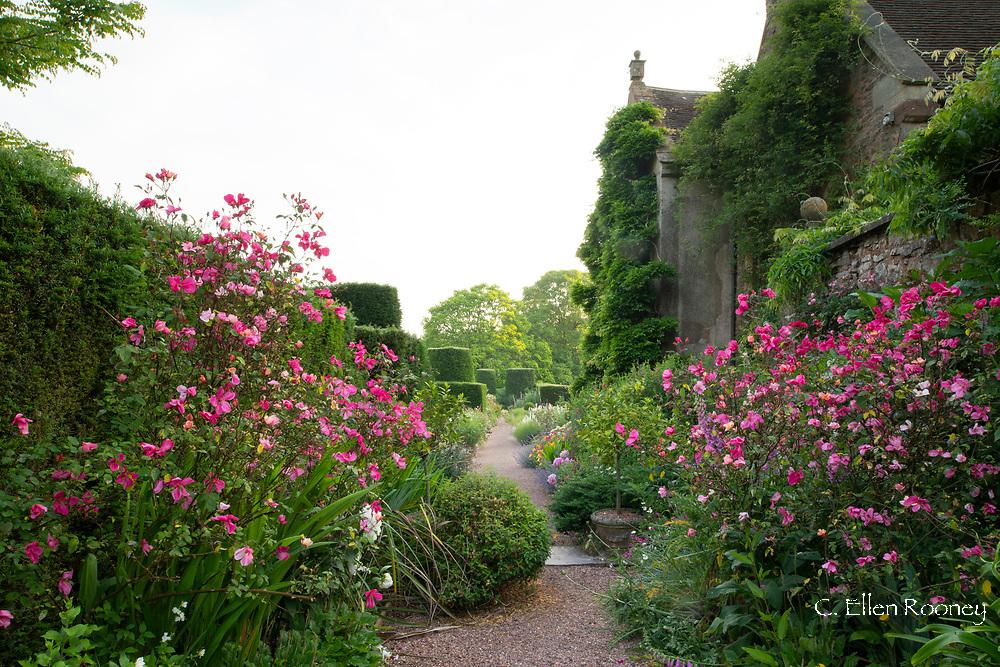 Rosa odorata x 'Mutabilis' AGM along the terrace walk at Cothay Manor, Greenham, Wellington, Somerset, UK