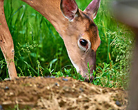 Deer up Close. Image taken with a Nikon D810a camera and 600 mm f/4 VR telephoto lens.