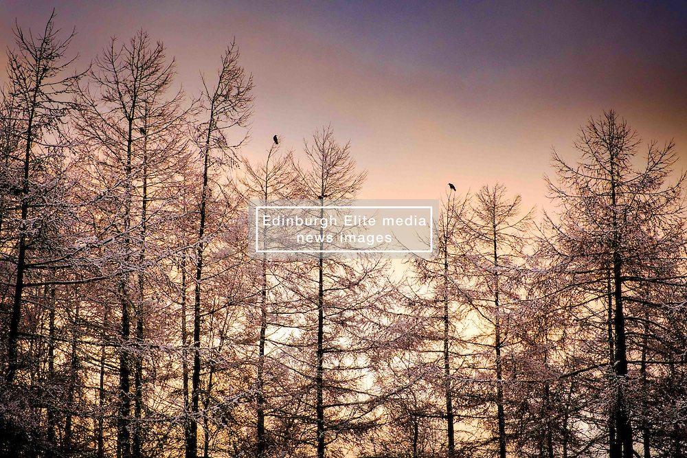 Monday 27th February 2017:  A weak winter sunset behind snow covered larch tress after an unexpected snowfall in South Lanarkshire.<br /> <br /> (c) Andrew Wilson   Edinburgh Elite media