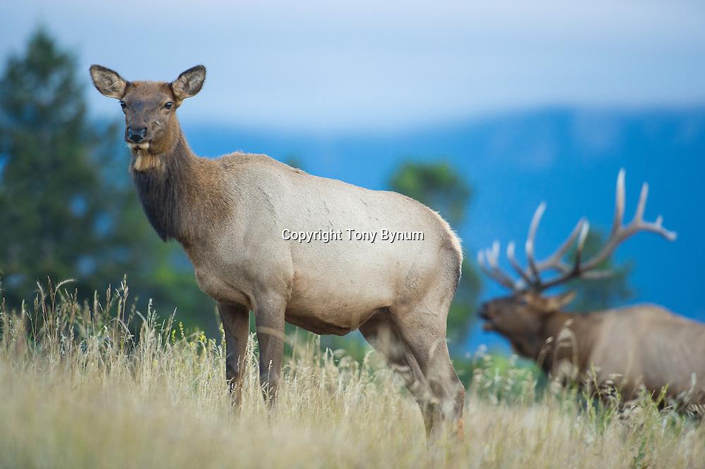 bugling bull elk rutting cow elk in forground