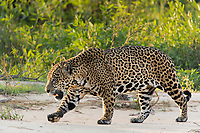 A large male jagaur, Panthera onca, walks on the sandy bank of the Cuiaba River.