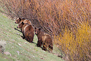 A Grizzly Bear Family wondering in Grand Teton National Park