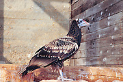 Israel, Carmel Hai Bar wildlife rehabilitation centre. Egyptian vulture (Neophron percnopterus). This vulture is native to the Mediterranean, Turkey, parts of Africa and parts of India. At less than 60 centimetres in length it is small, but is well known due to its habit of using stones as tools to break open ostrich eggs. Its main food supply however is waste and refuse, which it often finds around human habitation. Photographed in Israel in October