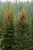 A conifer forest in Southwestern Montana showing the damage caused by Mountain Pine Beetles and climate change.