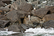 Fiordland Crested Penguin, Milford Sound, New Zealand