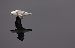 USA ALASKA  BERLING SEA 6JUL12 - A Northern Fulmar (Fulmarus glacialis) coasts over the unusually calm waters of the Bering Sea, Alaska.....Photo by Jiri Rezac / Greenpeace....© Jiri Rezac / Greenpeace