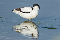 Pied Avocet resting with nill tucked under its wings in shallow water, Overberg, Western Cape, South Africa