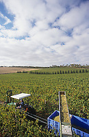 Harvesting wine grapes Mornington Peninsula Victoria Australia