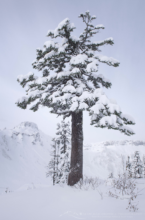 Snow Covered Mountain Hemlock, Heather Meadows Recreation Area, North Cascades Washington