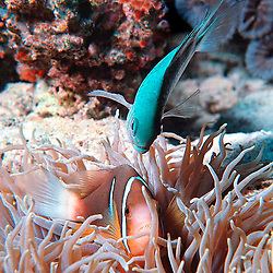 An adult female (white tail) Clark's Clownfish, in lesthery<br /> (Sebae) Anemone (Heteractis crispa), with a Blue-green<br /> Reeffish - 4&quot; (Chromis viridis) dive-bombing on top. Ocean Life is Al Harty's underwater photo series of sea life located mostly at Kwajalein Atoll, Marshall Islands.