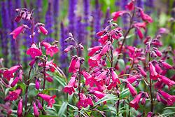 Penstemon 'Garnet' syn. P. 'Andenken an Friedrich Hahn' AGM in front of Salvia nemorosa 'Ostfriesland' AGM syn. Salvia × superba 'East Friesland' (Balkan clary)