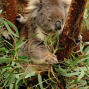 Phillip Island, Victoria, Australia, Oceania