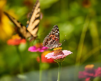 Painted Lady Butterfly. Image taken with a Nikon 1 V3 camera and 70-300 mm VR lens