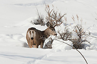 The end of January in northern Utah 2017 a snowpack depth that has not been seen in years all of the large game has had to move to the lowest elevation's in their winter ranges the Mule Deer are in a fight against the weather and the food that fuels them is starting to run thin at this time the Utah Division of Natural Resources has begun to feed the herds in some areas.