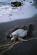 Hawksbill turtle, Punaluu Black Sand Beach, Island of Hawaii