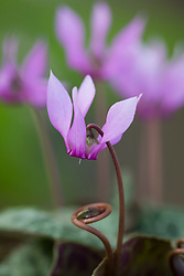 Cyclamen purpurascens showing flower stem coiling up to carry seed to the ground