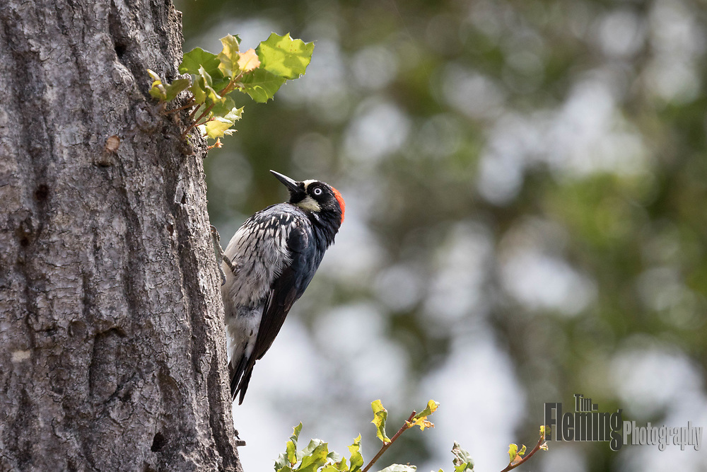Acorn woodpecker searching for food