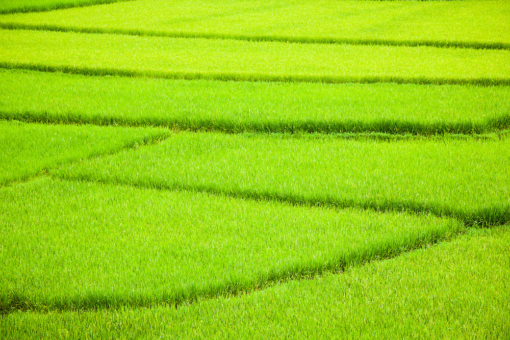 A green rice field with dissecting footpads through it. Northern Vietnam.