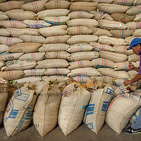 March, 21, 2014 - A wherehouse worker ties bags of green coffee closed to be stored for world-wide shipment at a co-op, Coopertiva de Caficultores de Andes in the town of Jardin in the Department Antioquia region of Colombia.<br /> Story Summary:<br /> Deep in the verdant valleys of Colombia&rsquo;s Department Antioquia region is Fabio Alonso Reyes Cano&rsquo;s coffee finca. Finca La Siemeona has been in Cano&rsquo;s family for generations. <br /> He and two workers farm the 5-acres of land as his ancestors did, bean by bean.  It is a tradition that has dwindled amid modern day farming techniques that harvest quicker but the selectively picked ripe deep red cherries are picked individually by hand for the best quality. &lsquo;Grain by grain&rsquo; processing allows for greater control over that quality of one of Colombia&rsquo;s top exports.  It also may help save an industry that is seeing firsthand the effects of climate change.<br /> Cano takes pride in the organic process, which he practices out of respect for nature and the land he was born and raised on.  A businessman, Cano keeps his eyes on way to grow but he also takes seriously his role as steward, encouraging biodiversity and employing natural pest control on the finca.  His practices are at odds with other coffee farmers, who have adopted more industrialized techniques. <br /> Climate change threatens a way of life that supports about 92,000 families nationwide and serves as one of Colombia&rsquo;s economic backbones.  Colombian coffee production has declined in recent years due to regional climate change associated with global warming as both the average temperatures have risen and an increase in rainfall.  The trend disrupts the specific climate requirements to grow the Coffea Arabica bean, and a way of life.  (Credit Image: &copy; Eric Reed/ZUMAPRESS.com)