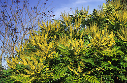 Mahonia x media 'Lionel Fortescue' at Great Dixter
