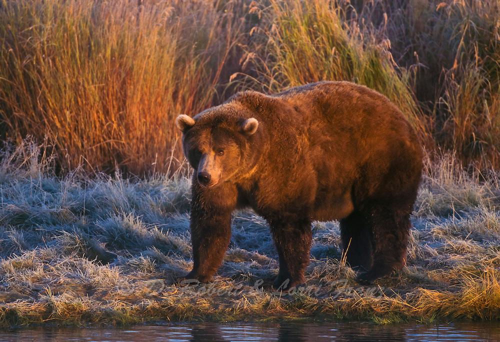 Alaskan brown bear at sunrise in Katmai National Park, Alaska during autumn