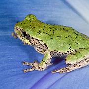Gray treefrog (Hyla versicolor) resting on a blue, morning glory blossom