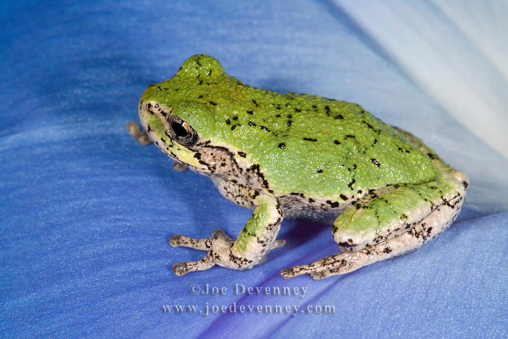 Gray treefrog (Hyla versicolor) resting on a blue, morning glory blossom