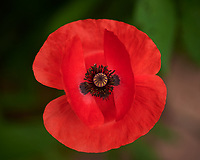 Poppy Flower. Image taken with a Nikon D850 camera and 105 mm f/2.8 VR macro lens
