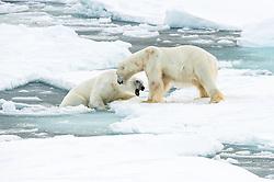 Polar bear (Ursus maritimus) fighting on drifting ice at 82 degree North in September, Svalbard, Norway