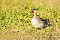 Red-billed Teal, Overberg, Western Cape, South Africa