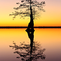 Image of a lone bald cypress (Taxodium distichum) growing in Lake Drummond silhoutted against evening civil twilight, Great Dismal Swamp National Wildlife Refuge, Virginia.  Lake Drummond is one of two natural lakes in Virginia.