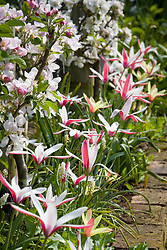 Tulipa clusiana 'Peppermint Stick' with step-over apples in blossom