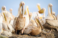 Great White Pelicans at their nest sites on Dassen Island , Western Cape, South Africa
