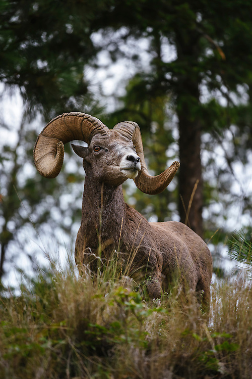 A Bighorn Sheep surveys traffic patterns along the Westside road, near Fintry, BC