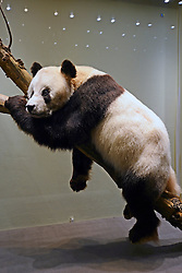 15.03.2016, Museum fuer Naturkunde, Berlin, GER, Naturkundemuseum Berlin, im Bild Praeparat des Panda Bao Bao (Ailuropoda melanoleuca) // Exhibits in the Natural History Museum Museum fuer Naturkunde in Berlin, Germany on 2016/03/15. EXPA Pictures © 2016, PhotoCredit: EXPA/ Eibner-Pressefoto/ Schulz<br /> <br /> *****ATTENTION - OUT of GER*****