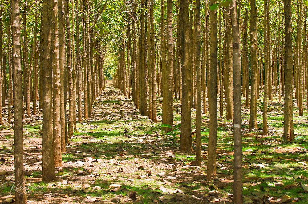 Teak wood forest, Island of Kauai, Hawaii